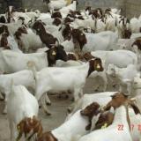 供应波尔山羊养殖波尔山羊市场价格