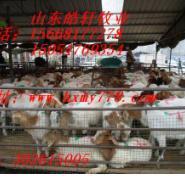 肉羊价格波尔山羊行情图片