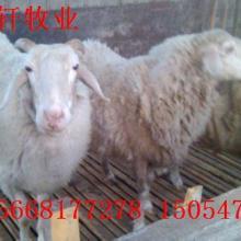 供应湖北兴山怀孕母羊小尾寒羊什么价格批发