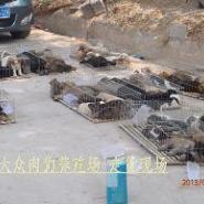 圣伯纳肉狗养殖狗崽价格打工仔养狗图片