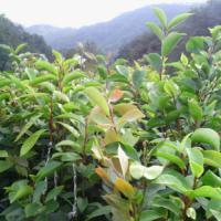 供应红花油茶树苗