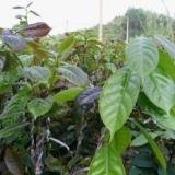 供应红花油茶种植