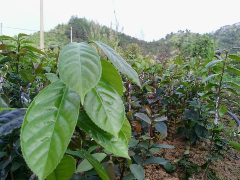 供应大果红花油茶苗产地
