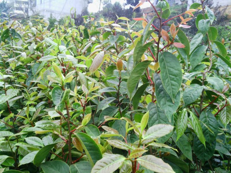 供应高产红花油茶苗