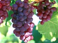供應葡萄籽提取物