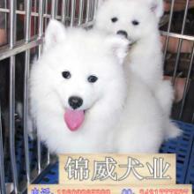 广州哪里有狗场卖萨摩犬萨摩犬价格纯种萨摩犬批发