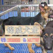 防爆纯种犬德国牧羊犬,专业繁殖纯种德牧批发
