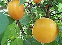 金太阳杏销售
