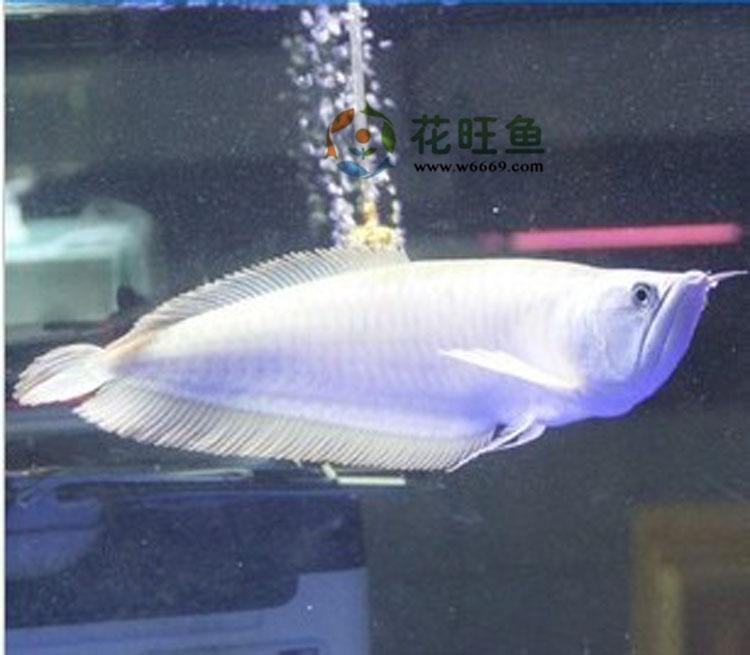鱼热带鱼图片 观赏鱼热带鱼样板图 龙鱼观赏鱼热带鱼招财鱼风高清图片