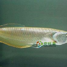 供应龙鱼观赏鱼热带鱼招财鱼风水鱼批发