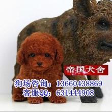 泰迪熊价格泰迪熊照片纯种泰迪熊广州买泰迪熊