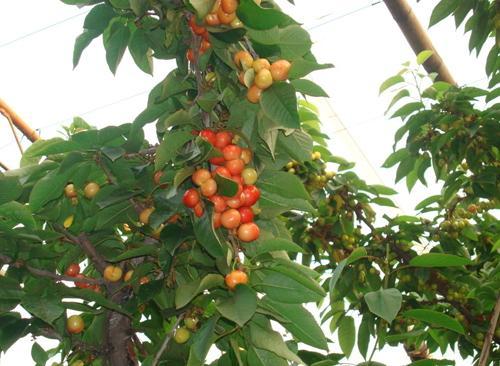 大樱桃树 大樱桃树价格 大樱桃树图片 一呼百应资讯热门词汇频道图片