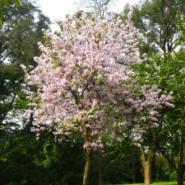 供应大量宫粉紫荆基地苗场大量供应高度80-120CM和胸径1-20公