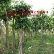 供应广西小叶榕基地苗场大量供应高度80-120CM和胸径1-15公分