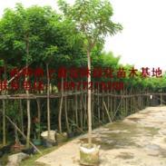 供应柳州大量黄槐基地苗场大量供应高度80-120CM和胸径1-15公