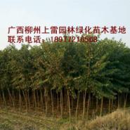 供应大量洋紫荆基地苗场大量供应高度80-120CM和胸径1-15公分