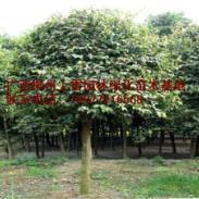 供应天竺桂基地苗场大量供应高度80-120CM和胸径1-20公分价钱