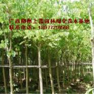 供应羊蹄甲1苗木大树小苗大量出售,规格价低,便宜处理,实惠,价钱价格