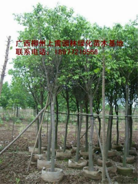 供应盆栽小叶榕苗木大树小苗大量出售,规格价低,便宜处理,实惠,价钱