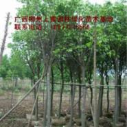供应绿化树小叶榕基地苗场大量供应高度80-120CM和胸径1-15公