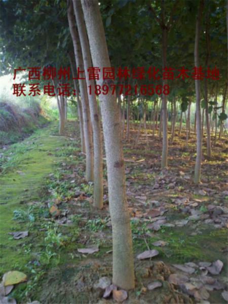 供应广西宫粉紫荆苗木大树小苗大量出售,规格价低,便宜处理,实惠,价钱