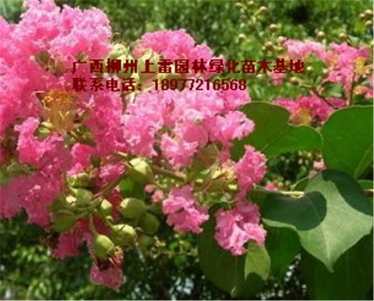 供应广西柳州小叶紫薇基地哪里有大量供应各种规格大树小苗,价钱价格便宜