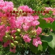 供应小叶紫薇基地苗场大量供应高度80-120CM和胸径1-20公分。