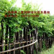 供应羊蹄甲绿化树基地苗场大量供应高度80-120CM和胸径1-15公