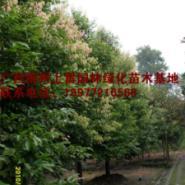供应广西大量天竺桂基地苗场大量供应高度80-120CM和胸径1-20