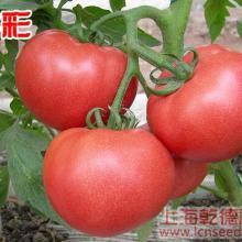 多彩西红柿种子