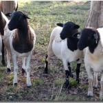 波尔山羊养殖视频图片