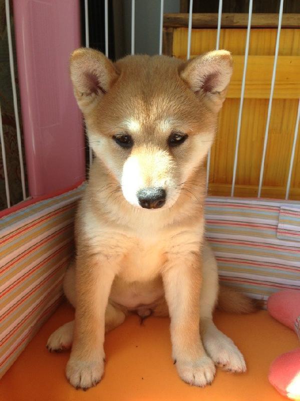 金毛幼犬怎么养_柴犬幼犬_柴犬幼犬画法