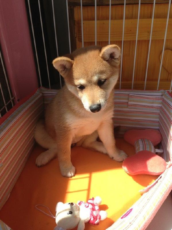 出售柴犬幼犬图片