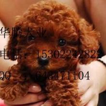 供应纯种贵宾犬广州泰迪熊价格 广州哪里买狗好泰迪熊  华腾犬舍