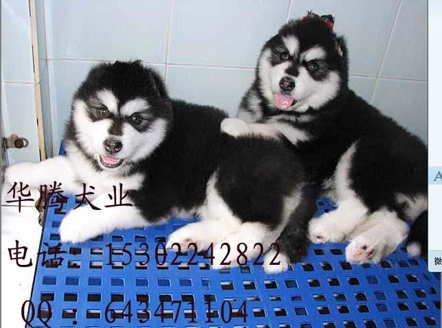 供应阿拉斯加犬价格多少钱 纯种阿拉斯加犬图片 阿拉斯加犬多少钱一只