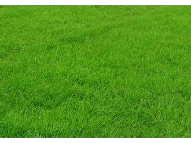 马尼拉草坪 江苏省常熟市常绿草坪基地高清图片