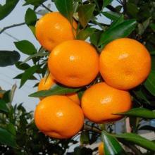 供应精品蜜桔 初冬橘尝鲜 蜜桔生产基地批发代购
