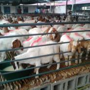 波尔山羊价格图片