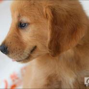 金毛纯种幼犬图片