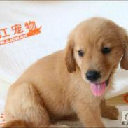 蚌埠市纯种金毛幼犬多少钱图片