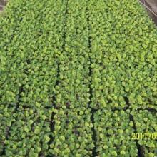 【最好的】蔬菜种苗/大棚蔬菜种苗/套菜批发/寿光顺丰温室