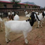 新疆波尔山羊图片