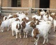 陕西波尔山羊肉羊最新价格图片