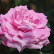 蔷薇月季种植基地 最好的蔷薇月季基地 大花月季种植基地