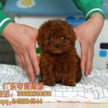 广州什么地方卖泰迪熊犬 广州泰迪熊犬销售点