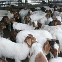 供应平阴有卖波尔山羊的吗