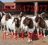 供应小尾寒羊价格波尔山羊种羊价格