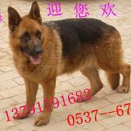新疆维吾尔牧羊犬图片