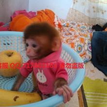 北京哪里有卖猴子的QQ717803181