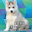 深圳哪里有出售纯种哈士奇 深圳哈士奇多少钱一只 威煌狗场